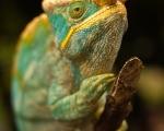 madagascar_chameleon